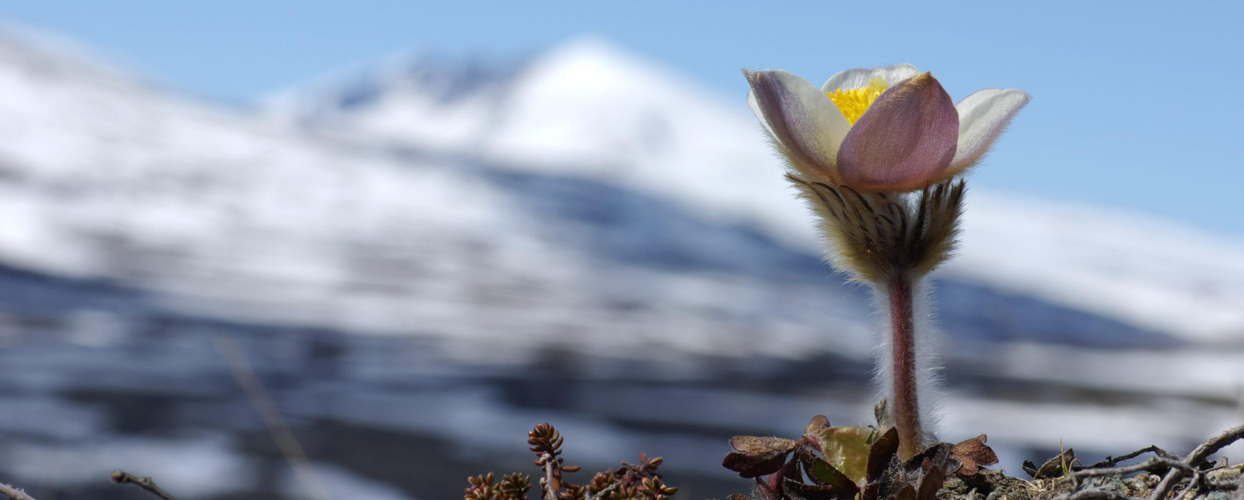 Bilde av blomst med snøhetta i bakgrunnen - Snøhetta Terapi
